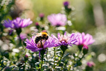 Common Carder Bee Collecting Pollen From An Aster Flower - Is A Fluffy, Gingery Bumble Bee That Can Often Be Found In Gardens And Woods. Aster Is A Genus In The Family Asteraceae.