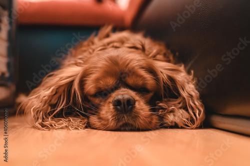 Fotografie, Obraz Closeup of a sleeping brown Cavalier King Charles Spaniel