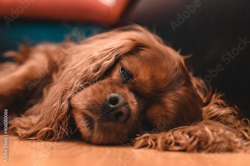 Obraz na plátně Closeup of a sleeping brown Cavalier King Charles Spaniel