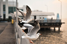 A Portrait Of Seagull Birds At Bang Pu Recreation Center In Samut Prakan Province, Thailand