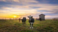 Beautiful Shot Of Sunset Over Grazing Cows In A Pasture Near Houses And Barns In California