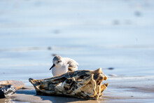 Closeup Shot Of A Beautiful Sanderling Bird On The Coast