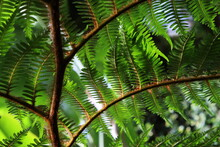 Close-up Of Giant Fern Tree Leaves