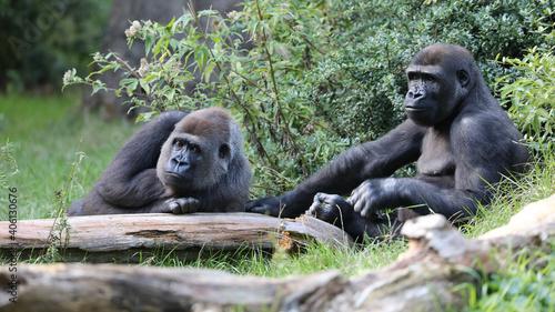 Obraz na płótnie Closeup of Western Lowland Gorilla
