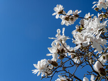 White Magnolia Blossoms Against Blue Sky For Copy Space