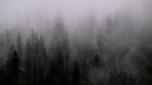 Panoramic View Of Pine Trees In Forest During Foggy Weather