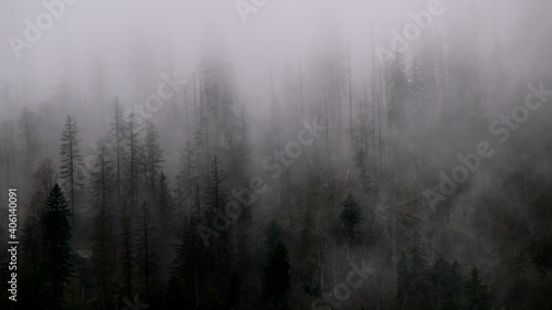 Fototapeta Panoramic View Of Pine Trees In Forest During Foggy Weather obraz