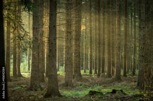 Pine Trees In Forest Fotobehang