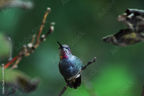 Fototapeta premium Close-up Of Ruby Throat Hummingbird Perching On A Branch.