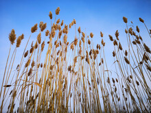 Gray Reeds Against The Blue Sky. Beautiful Landscape