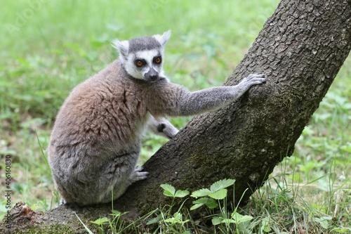 Fototapeta premium Lemur Catta in the nature