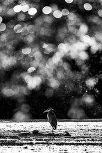 Black And White Portrait Of Coastal Great Blue Heron In Water With Bokeh