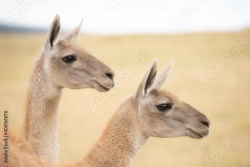 Fototapeta premium Close-up Of A Pair Of Llamas