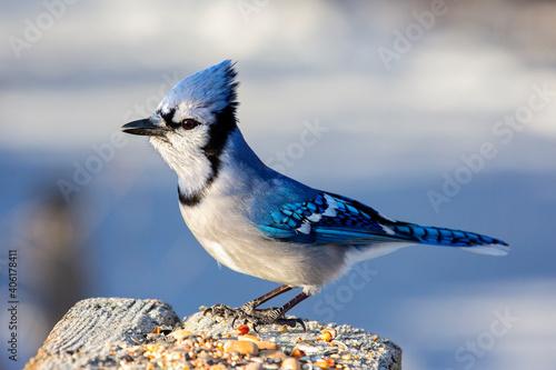 Fotografie, Obraz Perched Blue Jay