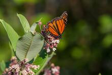 Monarch Butterfly Feeding On A Common Milkweed Flower.
