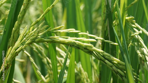 Fotografie, Obraz Close-up Of Wheat Growing On Field