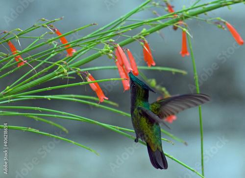 Fototapeta premium Close-up Of A Green-throated Carib Humming Bird Flying