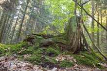Low Angle Shot Of An Old Tree Stump Covered With Green Moss In The Forest