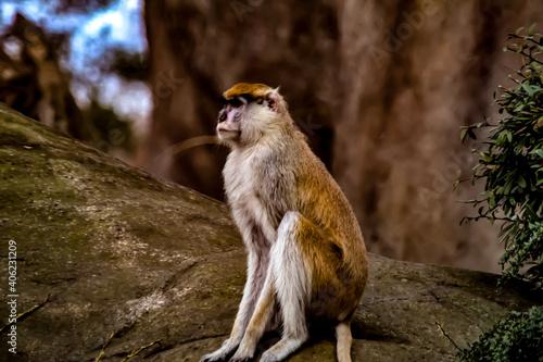 Fototapeta premium Monkey Sitting On Rock