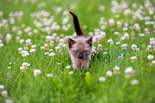 Little Siamese Kitten Exploring  A Field Of White Clover Grass.