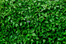 Tumbérgia-azul – Thunbergia Grandiflora