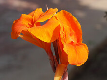 Closeup Shot Of An Orange Canna Flower