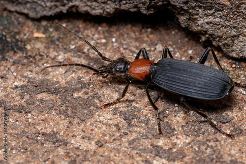 Adult False Bombardier Beetle Fototapet