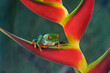 canvas print picture - Red-eyed Leaf-frog 1