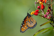 Queen Butterfly (Danaus Gilippus) On Butterfly Weed