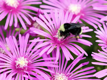 Yellow-faced Bumblebee On Ice Plant Flowers