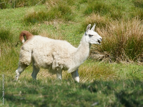 Fototapeta premium Close-up Of Lama Walking In Field