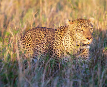 African Leopard Walking In A Dry Grassy Field On A Sunny Day