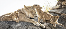 Family Of Lions Sitting On The Rock