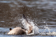 Canadian Goose Bathing And Submerging Itself In A Lake