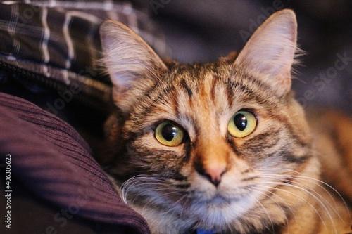 Fototapeta premium Close-up Portrait Of Tabby Cat