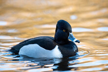 Selective Focus Of The Ring-necked Duck Swimming In The King's Pond, BC Canada