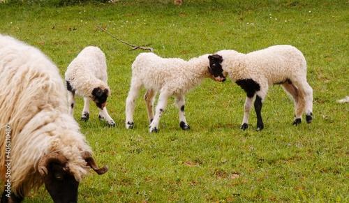 Fototapeta premium Sheep Grazing In A Field