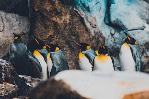 Fotografiet king penguin colony on the rocks