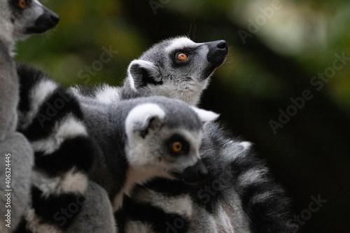 Fototapeta premium Group Of Lemurs