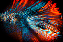 Moment Beautiful Of Blue - Orange Fighting Fish On Black Background. Male Fish Have Long Tail