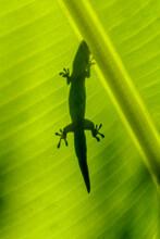Silhouette De Gecko Sur Feuille De Bananier Vue Par Transparence Au Soleil