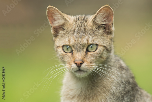 Portrait Of A Wild Cat With Green Background