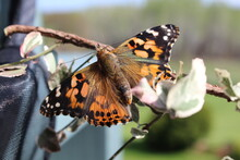 Close-up Of Painted Lady Butterfly Pollinating On Flower