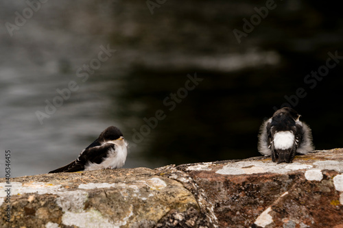 Two Fledgling Sand Martin Sitting On A Wall Fototapete