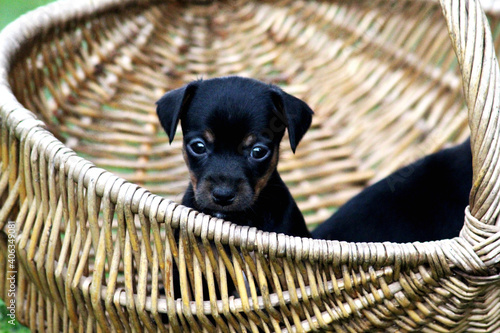 Foto Portrait Of Black Puppy In Basket