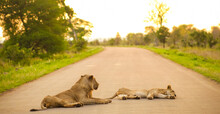 Two Lions Lying On The Road