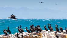 View Of A Flock Of Cormorant Birds On A Rocky Cliff