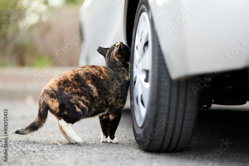Canvas Calico Cat Rubbing Its Scent On A Car