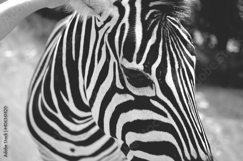 Fototapeta premium Close-up Of Zebra