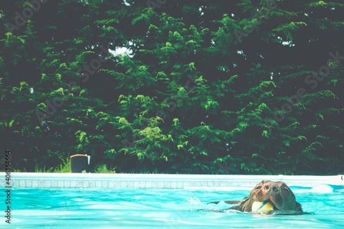 Foto Dog Swimming In Pool